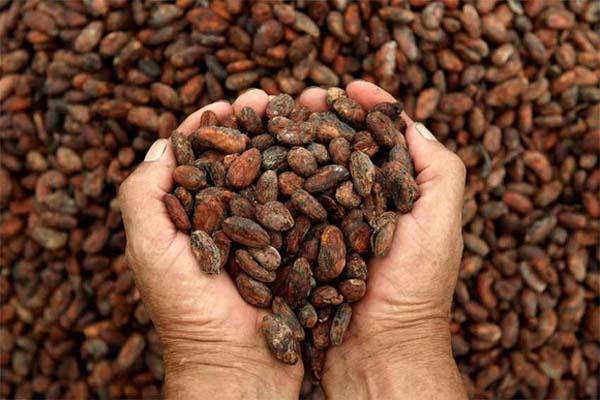 Grans de cacao.