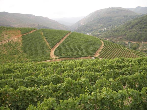 Imaxe de viñedos en bancais./ Foto: Carlos G. Hervella.