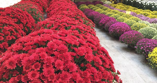 Photo of Flores de outono para o Día de Todos os Santos