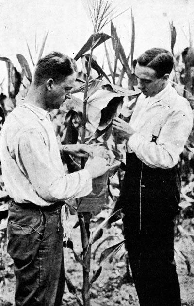 Jones e Gallástegui, mestre e alumno nos EEUU 1917, realizando unha polinización artificial en millo (Misión Gallástegui).