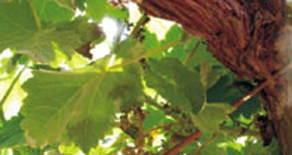 Photo of O control do mildio na vide, tema que abre as xornadas do Evega deste ano