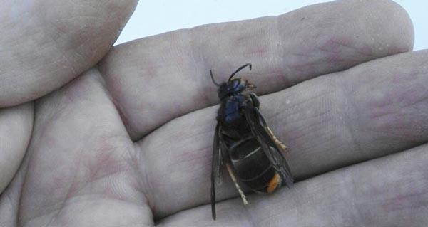 Photo of Os apicultores valdeorreses reaccionan ante a ameaza da vespa velutina