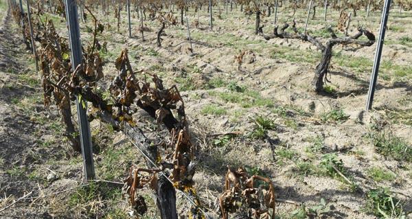 Photo of Monterrei e Valdeorras, as denominacións galegas máis afectadas pola xeada, segundo Medio Rural