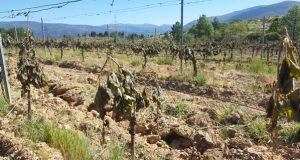 O Barco pide axudas directas para o sector do viño afectado polas xeadas