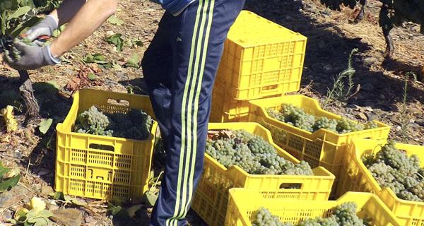 Photo of A D.O. Valdeorras pon en marcha a vendima galega