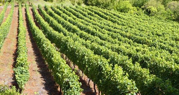 Photo of Ábrese o prazo para pedir axudas de reestruturación e reconversión de viñedo