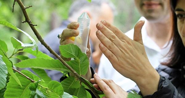 Photo of Medio Rural soltará este ano 790.000 individuos de Torymus sinensis para loitar contra a avespiña do castiñeiros