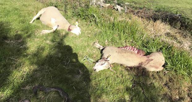 Photo of Ataques de lobos no municipio de Vilariño de Conso