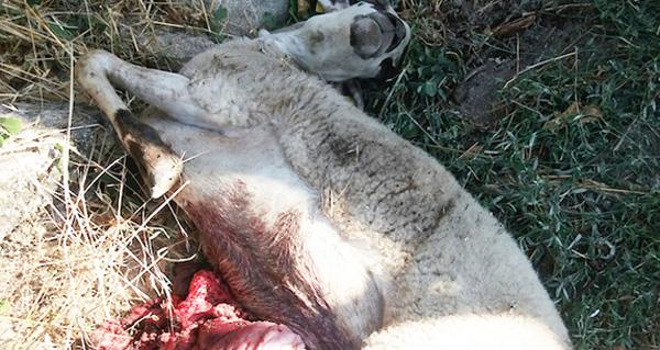 Photo of Ataque do lobo en Fradelo (Viana), a escasos metros do centro da localidade