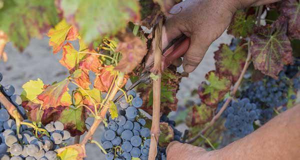 Photo of A D.O. Valdeorras pedirá axudas para os viticultores afectados por diferentes pragas