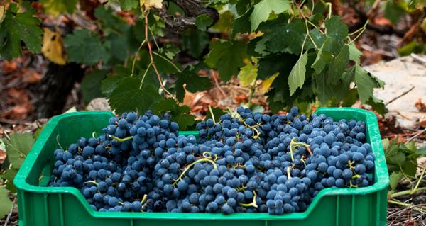 Photo of A D.O. Ribeira Sacra finaliza a vendima con 6.170.995 quilos de uva recollidos