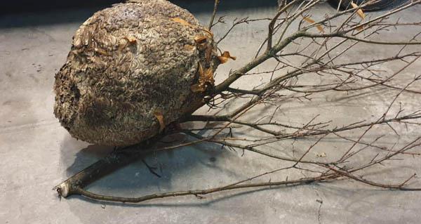 Photo of O GES Valdeorras retira en Pumares o niño de velutina máis grande atopado ata agora en Valdeorras