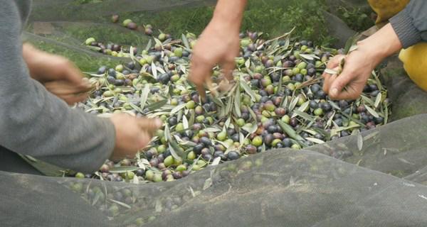 Photo of Onde a recollida da colleita de castañas e de olivas se converte nunha experiencia turística