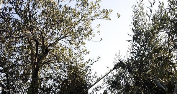 Photo of Quiroga pon en valor 30 hectáreas de terreos abandonados coa plantación de oliveiras