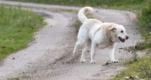 O potencial do can de palleiro como pastor, analizado por Medio Ambiente e pola asociación desta raza