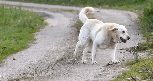 Photo of O potencial do can de palleiro como pastor, analizado por Medio Ambiente e pola asociación desta raza
