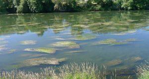 As rabazas invaden novamente o río Sil no Barco