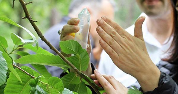 Photo of Medio Rural conclúe a solta de Torymus para loitar contra a avespiña do castiñeiro