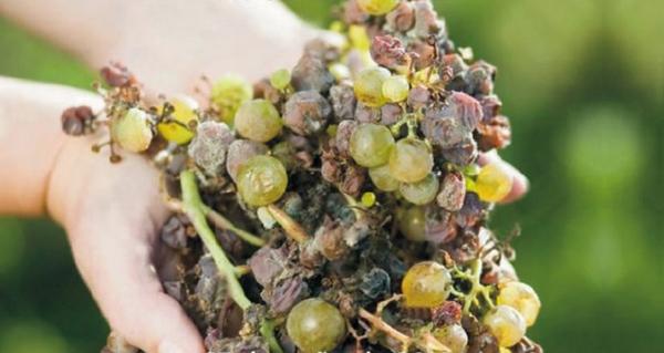 Photo of Xornadas sobre a podremia da uva, o 13 de xuño no Barco