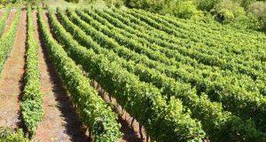 Unhas xornadas sobre viticultura chegan á Rúa da man da Asociación Agraria de Galicia