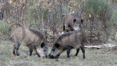 Photo of O período hábil para a caza do xabarín prolongarase durante un mes máis que o ano pasado