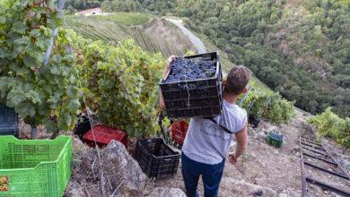 Photo of A D.O. Ribeira Sacra leva recollidos 224.773 quilos de uva dende o inicio da campaña