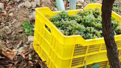 Photo of A colleita de uva na D.O. Valdeorras roza os 7 millóns de quilos