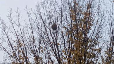 Photo of A caída da folla das árbores permite descubrir máis niños de velutina en Valdeorras