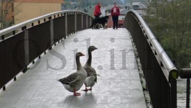 Photo of As ocas, de paseo polo casco vello do Barco