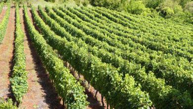 Photo of O efecto da emerxencia sanitaria no sector do viño galego, analizado polos consellos reguladores e Medio Rural