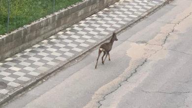 Photo of Un corzo, de paseo polo casco urbano do Barco