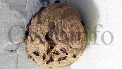 Photo of A velutina constitúe unha ameaza para a biodiversidade, segundo un estudo da Universidade de Vigo