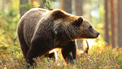 Photo of O censo do oso pardo cantábrico comezará a realizarse en setembro