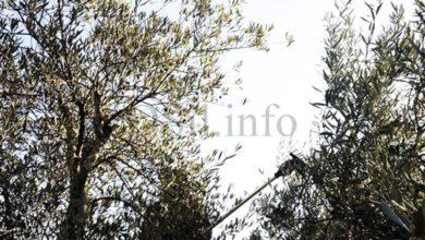 Photo of O modelo quirogués de posta en valor do monte a través da olivicultura dase a coñecer en Narón
