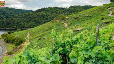 "Photo of 64 viños da D.O. Ribeira Sacra, no certame ""Mondial des Vins Extremes"""