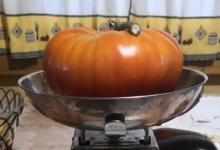 Photo of Tomates de máis dun quilo en Córgomo (Vilamartín de Valdeorras)