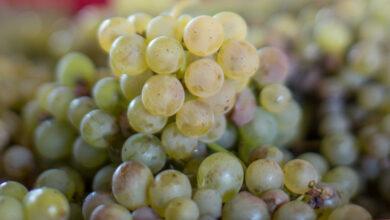 Photo of Colleita histórica na D.O. Monterrei que chega aos 5,7 millóns de quilos de uva