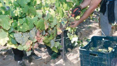 Photo of Remata a campaña de vendima na D.O. Valdeorras con máis de 5,5 millóns de quilos de uva recollidos