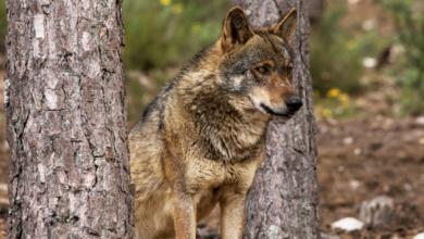 Photo of Galicia, xunto a outras 3 comunidades, rexeita aumentar a protección do lobo